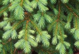 The Branches Of A Colorado Blue Spruce Tree