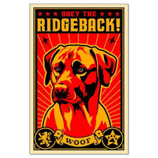 Do Rhodesian Ridgebacks Drool by 90 Best Beckett Images On Pinterest Rhodesian Ridgeback Puppies