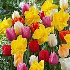 best 25 daffodil bulbs ideas on planting daffodil