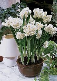 flowering bulbs bulbss buy flowering bulbs