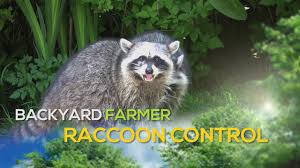 Raccoon Control - YouTube How To Keep Wild Raccoons The National Wildlife Federation Blog Ecology Management Our Little Raccoon Luna Pinteres Health Inspectors Notebook Urban Wildlife Pet Diases That Great Raccoon In My Backyard Architecturenice Makeover Final Reveal Emily Henderson Animal Droppings Ask An Expert Beasts Login Critter Scat Pool Party Youtube Little On Deck A Rainy Day What Kind Of Are These I Want Protect My Rooster And