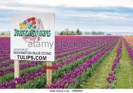 field white tulips mount vernon stock photos field white tulips