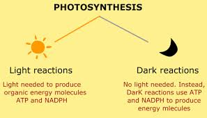 What are dark and light reactions in photosynthesis
