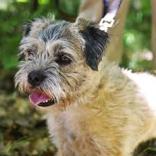 Do Border Terriers Shed by Border Terrier Dog Breed Remarkable Dogs
