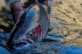 Theres Just Something About A Steelhead Photo Credit Mountain River Outfitters