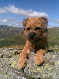 Do Border Terriers Shed by Border Terrier Dog Breed Health