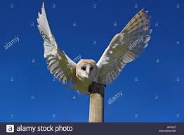 Barn Owl Landing On A Post Stock Photo, Royalty Free Image ... Barn Owl Landing Spread Wings On Stock Photo 240014470 Shutterstock Barn Owl Landing On A Post Royalty Free Image Wikipedia A New Kind Of Pest Control The Green Guide Fence Photo Wp11543 Wp11541 Flight Sequence Getty Images Imageoftheday By Subject Photographs Owls Kaln European Eagle Coming Into Land Pinterest Pictures And Bird