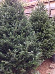 Fraser Fir Christmas Trees Delivered by Christmas Trees Delivered To Your Doorstep In Boston