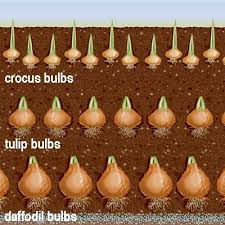 flowering bulbs daffodil bulbs daffodils and bulbs