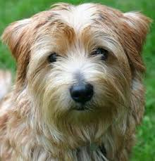 norfolk terriers what s good about em what s bad about em