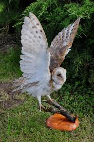 Mounting A Barn Owl - Taxidermy - YouTube How To Build A Barn Owl Nest Modern Farmer Best 25 Owls Ideas On Pinterest Beautiful Owl Owls And Audubon Field Guide John James Audubons Birds Of America Or Buy Box Company Tyto Alba Species Tips Encouraging 1861 Best Snowy Saw Whets Images The Australia Australian Geographic 539 Owls Tattoos