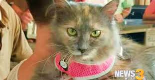 service cats vest in show the top 5 service cats petslady