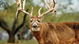 Whitetail Deer Shedding Velvet by Chronic Wasting Disease Tpwd And Deer Breeders