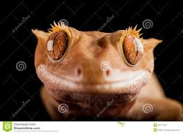 Crested Gecko Shedding Info by Crested Gecko Royalty Free Stock Photography Image 29777437