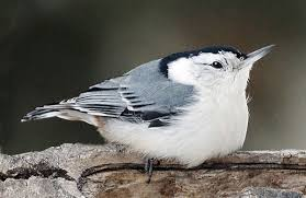 The Nuthatch Is An Acrobatic And Friendly Little Bird
