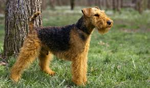 Do Airedale Puppies Shed by Welsh Terrier Dog Breed Information