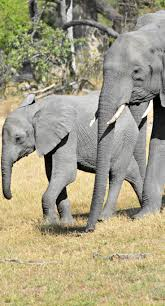 best 25 baby elephant walk ideas on pinterest backdrops for