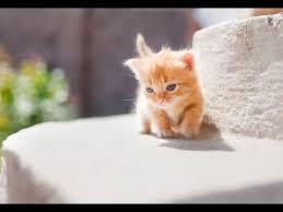 munchkins cats cutest munchkin kittens compilation