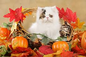 Pumpkin For Pets Diarrhea by Can Cats Eat Pumpkin Is It Harmful To Them Dec 2017