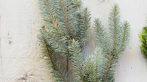 Silvertip Fir Christmas Tree by Living Christmas Trees Sunset