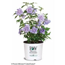 Christmas Tree Watering Funnel Home Depot by Proven Winners Blue Chiffon Rose Of Sharon Hibiscus Live Shrub