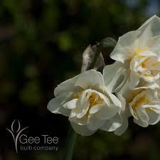 buy narcissus bridal crown bulbs narcissi gee