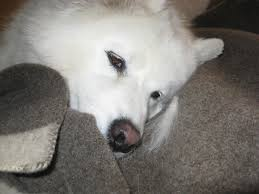 Do Samoyeds Shed All The Time by Desert Canyon Living S Is For Samson Samoyed Dog A Love Story