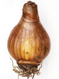 identifying bulb types understanding bulbs corms rhizomes and