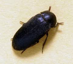 Do Carpet Beetle Bite by Hide And Larder Beetles Insects In The City