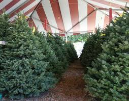 Types Christmas Trees Most Fragrant by Christmas Tree Types Available At Big Wave Dave U0027s
