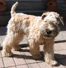 remington my 6 month old soft coated wheaten terrier dog jackets