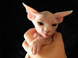 hairless cat price sphynx for ads free classifieds