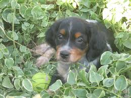 Do Brittany Spaniels Shed Hair by Kansas Hunting Dogs Kansas French Brittany Spaniel Breeders