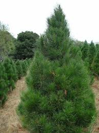 9 Best Fresh Christmas Trees Images On Pinterest Branches Tree