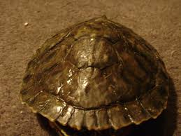 Turtle Shell Not Shedding Properly by Redearslider Com View Topic My Turtles Shell Is Peeling Is