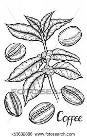 Hand Drawn Sketch Of Coffee Plant Branch With Leaf Berry Bean Fruit Seed Natural Organic Caffeine Green Luwak