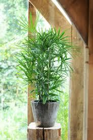 entretien des bambous en pot cultiver un palmier en pot gamm vert
