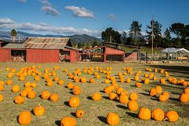 Pumpkin Patch Santa Rosa by Grandma U0027s 19 Photos Pumpkin Patches Healdsburg Ca Reviews