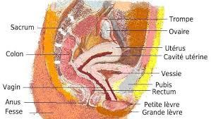 interieur corps humain femme organes génitaux internes anatomie sexuelle appareil génital