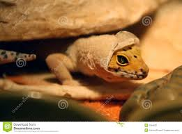 Crested Gecko Shedding Signs by Crested Gecko Royalty Free Stock Photography Image 29777437