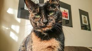 haired cat tortoiseshell cat