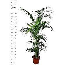 kentia palm tree 180 190 cm howea forsterian