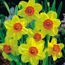 best 25 daffodil flower pictures ideas on hyacinth
