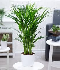 areca palme ca 50 cm hoch