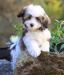 List Of Non Hypoallergenic Dogs by Best 25 Small Hypoallergenic Dogs Ideas On Pinterest Cute Small