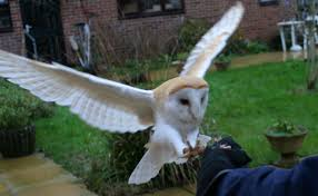 Kelfezond - Training A Barn Owl - YouTube 55 Best Owl Images On Pinterest Barn Owls Children And Hunting Owls How To Feed Keep An Owlet Maya A Brief Introduction The Common Types Of Six Reasons Why You Dont Want An Owl As Pet Bird Introducing Gizmo Baby Whitefaced Youtube 2270 Animals 637 Oh Meine Uhus I Love Owls My Barn Cat Baby By Disneyqueen1 Deviantart All Things Nighttime Predator Cute Animals