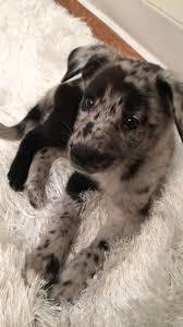 Blue Heeler Lab Mix Shedding by Best 25 Do Australian Shepherds Shed Ideas On Pinterest