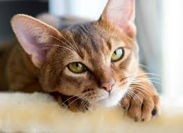 clindamycin for cats respiratory infection chlamydia in cats petmd