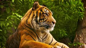 1920x1080 Animal HD Wallpaper Tiger