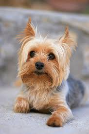 Dogs That Dont Shed Their Fur by 20 Dogs That Don U0027t Shed Much Hypoallergenic Dog Breeds